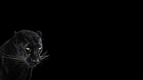 photography mammals cat simple background Wallpapers HD