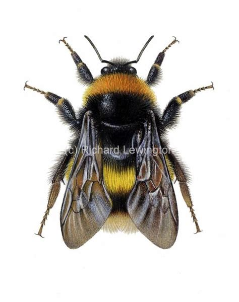 bumblebee insect drawing - Sök på Google   Bumble bee