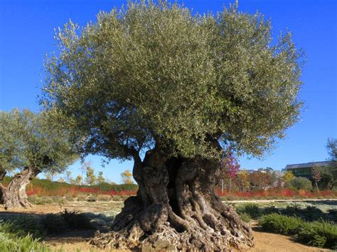 Save the centenary olive trees from pillaging - Med-O-Med
