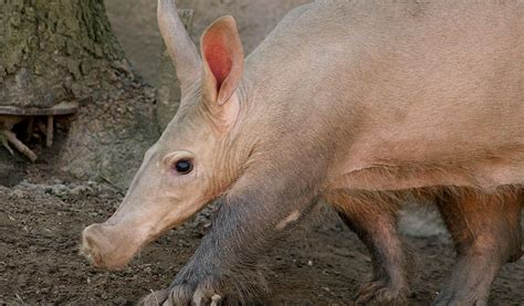 Aardvark - Facts,Information & Pictures