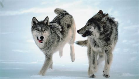 """How to Teach the Story """"Good Wolf, Bad Wolf"""" to Kids   How"""