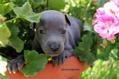 Available italian greyhounds puppies - see more