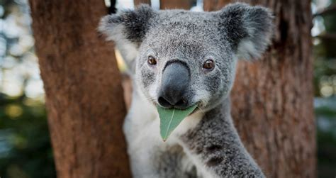 """Threatened By Deforestation, Koalas Are Now """"Functionally"""