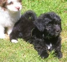 papillon poodle mix - Google Search   Papipoo, Hybrid dogs