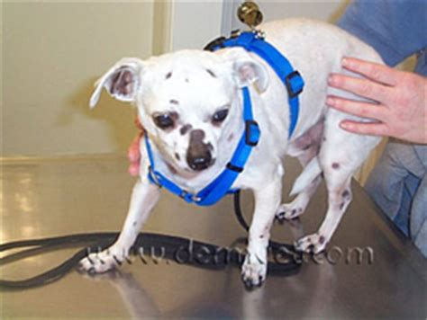 Dermatophytosis in Lacey, WA   Dermatology Clinic for Animals