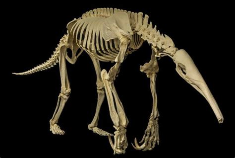 Giant Anteater skeleton (With images) | Animal skeletons