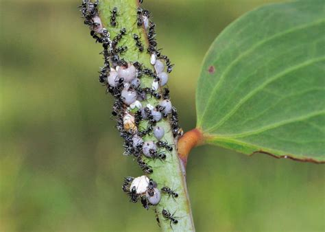 Wattle Tick Scale - Cryptes baccatus