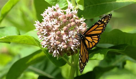 Plant the weed the monarchs need | Toronto Star