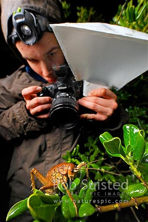 Cook Strait Giant Weta female being photographed