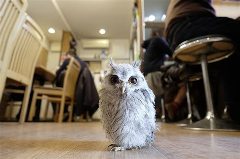 Bizarre cafe in Japan sees you get a cuppa with owls