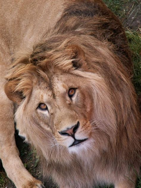Let's Draw Endangered Species! : ): Barbary Lion